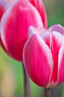 Pink Tulips II  by AD DESIGN Photo + PhotoArt