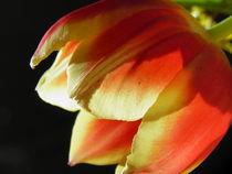 Tulpe leuchtend I by Carmen Steinschnack
