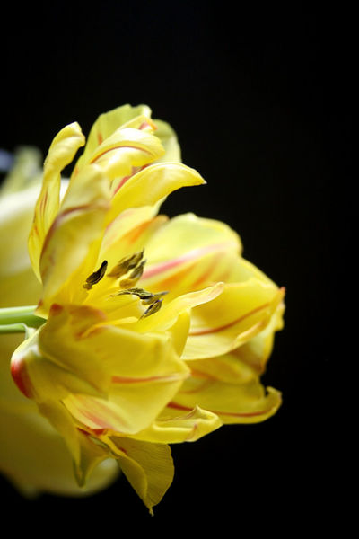 Tulpe-in-gelb