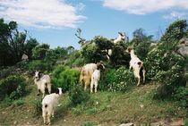 Goats Ziegen by middico