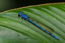 Blue Damsel fly by Craig Lapsley
