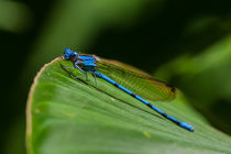electric blue damsel fly by Craig Lapsley