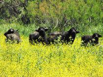 buffallo , jamoos by tomer kupilavitz