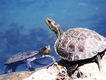 water turtles von tomer kupilavitz