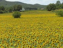 Sonnenblumenfeld by mariso