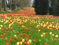 Tulpen Allee von mariso