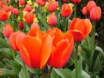 Tulpen Rot von mariso