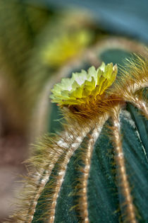 050112-vp-cactus-barrel-bloom-00-hdr