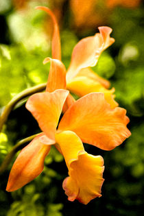 050112vp-con-orange-orchid-01-225-ppi-15x10oil