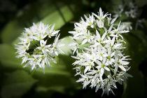 Wild Garlic von David Tinsley