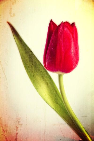 Tulpe-red-glow-vintage