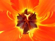 Tulipan Cuore von Tricia Rabanal