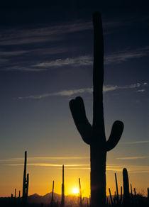 Saguaro Cactus von Daniel Troy
