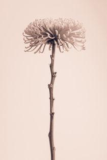 Chrysanthemum. von Mark Aynsley