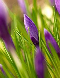 Leuchtendes Lila - die Knospen der violetten Garten-Krokusse (Crocus-Hybriden) von Brigitte Deus-Neumann