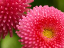 Farbenpracht - Die Blüten des Gänseblümchens Bellis perennis von Brigitte Deus-Neumann