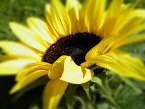 Sonnenblume by Carmen Steinschnack