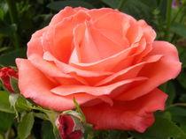 Rose,Blüte by Carmen Steinschnack