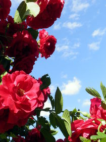 Rose, Kletterrose, Ranke von Carmen Steinschnack