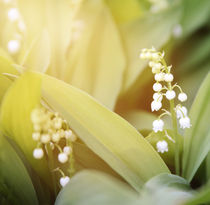 lily-of-the-valley by Ekaterina Planina