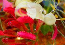 Fantasie, Blüte von Carmen Steinschnack