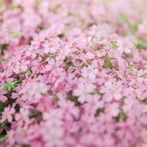 Pink flowers. by Ekaterina Planina