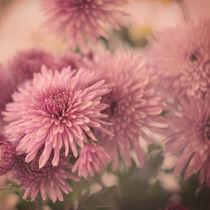 Chrysanthemums. by Ekaterina Planina