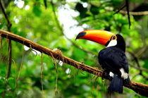 Tukan in Iguazu by Tine Steiss