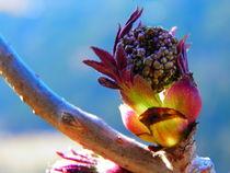 Holunderblüte by Carmen Steinschnack