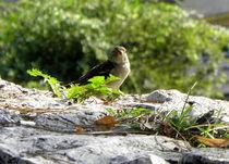 Sparrow von bebra