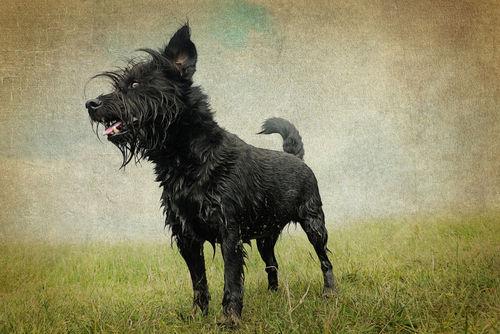 Nasserhund-vintage