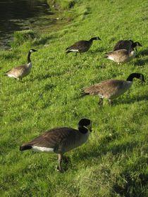 Goose Migration von Guy  Ricketts
