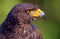 Harris' Hawk Portrait von Keld Bach