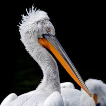 Proud Pelican by Keld Bach