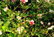 Flowers .. by bebra
