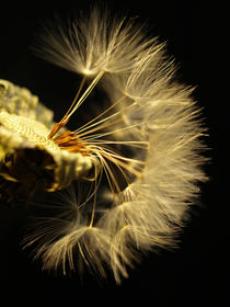 Pusteblume, dandelion, Löwenzahn, blowball, Makro von Dagmar Laimgruber