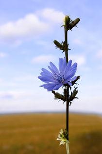 ?hicory flower by Volodymyr Chaban