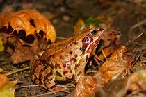 Frog in autunm von Volodymyr Chaban