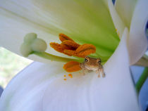 Frog in the Lily by Judy Hall-Folde
