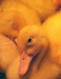 Ducklings by Roger Butler