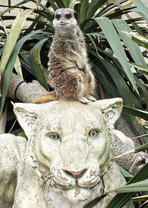 Meerkat Lion Lookout ! by Roger Butler