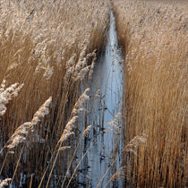 Schilfrohr im Winter von Daniela Weber