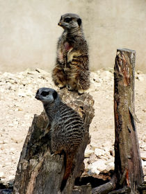 Meerkat Duo by Roger Butler