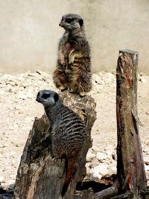 Meerkat-duo