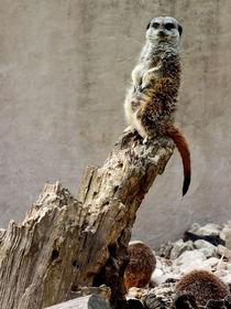Meerkat-guard