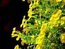 Yellow Petunia ... von bebra