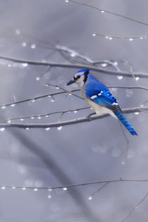 BLUE JAY IN THE RAIN von tomyork