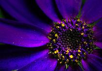 Purple Senetti Macro by rosanna zavanaiu