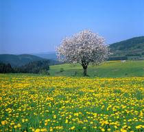 Frühlingslandschaft mit Obstbaumblüte und Löwenzahnwiesen von Manfred Koch