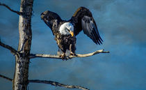 Bald Eagle von Barbara Magnuson & Larry Kimball